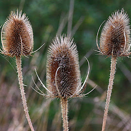 Almost Always in Threes! by Chrissie Barrow - Nature Up Close Other Natural Objects ( spikes, teasels, seedheads, nature, prickly, brown, bokeh, closeup )