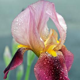 Iris by Panait Sorin - Flowers Single Flower ( iris, flower )