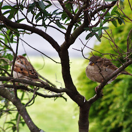 Sparrows In A Tree by Sarah Harding - Novices Only Wildlife ( bird, nature, outdoors, novices only, wildlife )