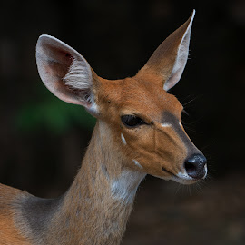 bushbuck female by Peter Schoeman - Animals Other Mammals ( fauna, bushbuck, close, curious, nature, animals in the wild, safari, bush, head, eye, deer, isolated, wild, alert, image, stripes, mammal, portrait, game drive, antelope, outdoors, fawn, small, large, calm, herbivore, grazing, bush buck, wildlife, cute, photography, chestnut, wild animals, buck, kruger, africa, closeup, animal, beautiful, game, wild life, color, female, outdoor, background, south, ears, doe, brown, standing )