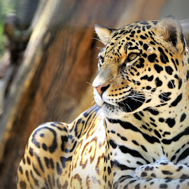 by David Branson - Animals Lions, Tigers & Big Cats