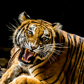Angry Tiger by Kusal Gautamadasa - Animals Lions, Tigers & Big Cats ( tiger, angry,  )