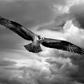 Osprey in stormy skies by Rachel Bilodeau - Animals Birds