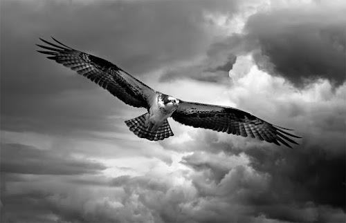 Osprey in stormy skies by Rachel Bilodeau - Animals Birds