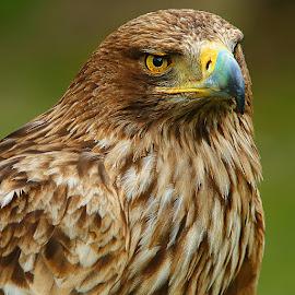 Steppe Eagle beak by Gérard CHATENET - Animals Birds