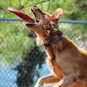 Good catch by Peg Elmore - Animals - Dogs Playing ( play, dog, frisbee )