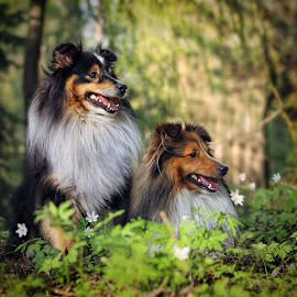 by Jane Bjerkli - Animals - Dogs Portraits ( animals, dogs, nature, shetland sheepdog, pets, spring, portrait )