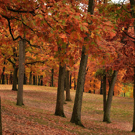 Autumn Leaves by Robert Coffey - Landscapes Forests ( autumn, fall, trees, forest, leaves, woods )