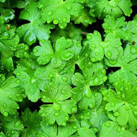 Fresh by Heather Aplin - Nature Up Close Leaves & Grasses ( wild, geranium, april, fresh, green, drops, shower, wet, leaves, spring, rain )