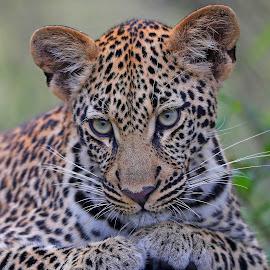 Pretty eyes! by Anthony Goldman - Animals Lions, Tigers & Big Cats ( cub, leopard, predator, nature, londolozi, big cat, wild, wildlife,  )