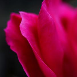 On the edge by Naima Washington - Nature Up Close Gardens & Produce ( macro, nature, pink, flower, petal )