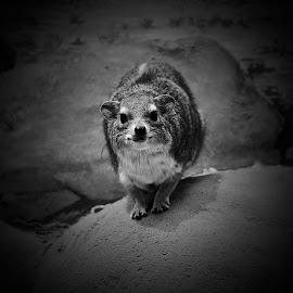 tajemné zvířátko  by Monika Sedláčková - Animals Other ( mysterious pet, nocturnal creature., beautiful eyes )