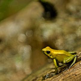 Poison Dart frog by Monika Sedláčková - Animals Amphibians ( forest, small frog, poison dart frog )