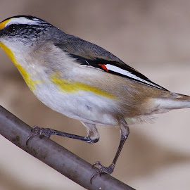 Striated Pardalote by Sarah Harding - Novices Only Wildlife ( bird, nature, outdoors, novices only, wildlife )