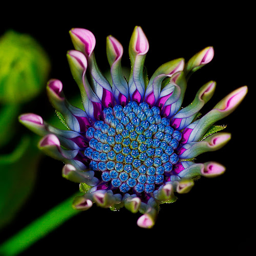 Emerging South African Daisy by Peter Greenhalgh - Nature Up Close Flowers - 2011-2013 ( black background, south african daisy, blue-eyed daisy, osteospermum, multi colors, opening petals )