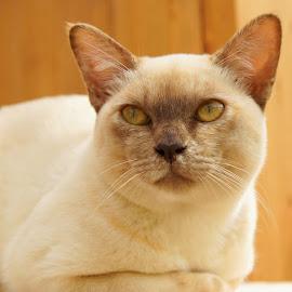 Tilly by Caroline Beaumont - Animals - Cats Portraits ( cat, kitten, chocolate tortie, brown, burmese, cream )
