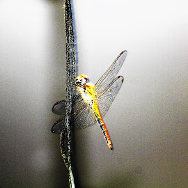 Dragon fly by Suresh K Srivastava - Animals Insects & Spiders ( colourful, wings, beauty in nature, dragonfly, insects )