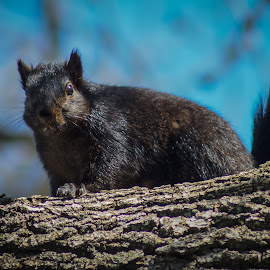 Black Squirrel by Gary Wahle - Animals Other Mammals ( iowa, black squirrel, squirrel,  )