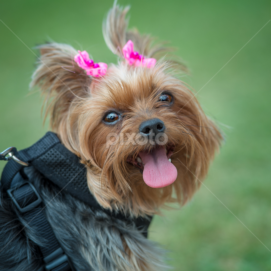 by Judy Rosanno - Animals - Dogs Portraits ( kite and tail festival,  )