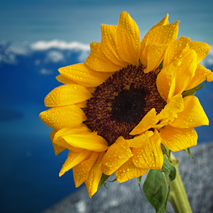 P2200114-Sunflower.jpg