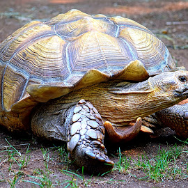 Wise Tortoise by Rob Bradshaw - Animals Amphibians ( zoo, old tortoise, wise tortoise, armor, colorful shell, turtle,  )