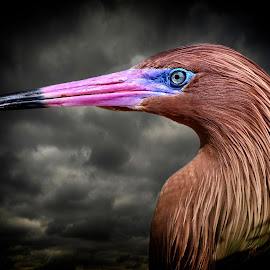 Close-up of a reddish egret in breeding plumage by Sandy Scott - Animals Birds ( clouds, animals, colorful, reddish egret, wildlife, water birds, birds, stormy skies, wading birds, shore birds, fishing birds, nature, pink, egret )
