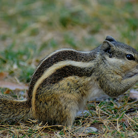 Caught Nibbling !! by Subradeep Chowdhuri - Animals Other ( #, #animals, #myclick, #park, #nibbling, #squirrel )