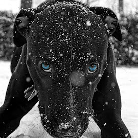 by Patrick Strzelecki - Animals - Dogs Playing ( playing, playful, winter, black and white, blue, outdoors, outdoor, snow, play, puppy, black,  )