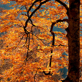 Autumn light by Mikaela Dana - Nature Up Close Trees & Bushes ( tree, autumn, outdoor, nikon, leaves, colours )