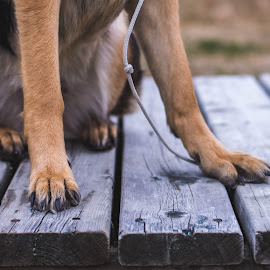 Paws by Mikahla Dorey - Animals - Dogs Portraits ( paw, german shepherd, dog )