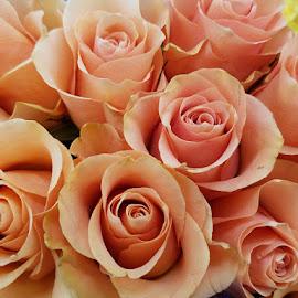 Peach roses by Jeffrey Lee - Flowers Flower Gardens