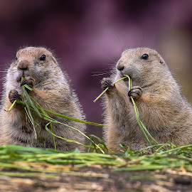 Staying alive by Jürgen Sprengart - Animals Other ( two, prairiedogs, violet, eating, public )