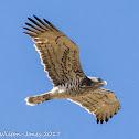 Short-toed Snake Eagle; Aguila Culebrera