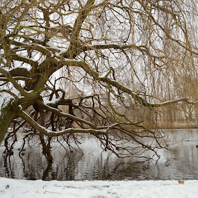 Regents' park tree and pond under snow by Emilie Robert - City,  Street & Park  City Parks ( calm, park, morning, regents, winter, tree, london, blue, serenity, snow, bridge, pedalo, pond, river )