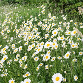 Daisies by Mike Tricker - Flowers Flowers in the Wild