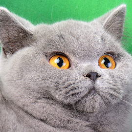 BSH Face by Cacang Effendi - Animals - Cats Portraits