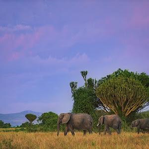 african_elephants_uganda_10x.jpg