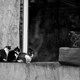 boss by Coman Ionela - Animals - Cats Kittens ( cats, animals, group,  )