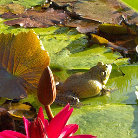 Lilly Pond Visitor by Bonnie Wilkins - Animals Amphibians ( pool, frog, pond, flower, lilly )