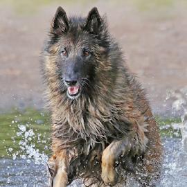Fun at the beach by Mia Ikonen - Animals - Dogs Playing ( water, belgian shepherd tervueren, finland, fun, running )