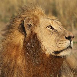 Fourways Male by Anthony Goldman - Animals Lions, Tigers & Big Cats ( wild, lion, predator, male, fourways, londolozi, profile )