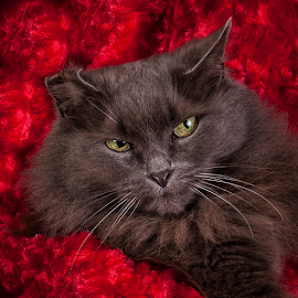 Pretty in Red by Myra Brizendine Wilson - Animals - Cats Portraits ( cats, cat, long haired cat, red, gray cat, feline, fluffy cat )