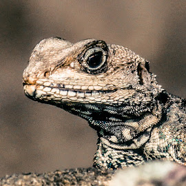 mountain lizard by Swapnil Keshari - Animals Reptiles ( scary, picoftheday, ugly, lizard, bestoftheday )