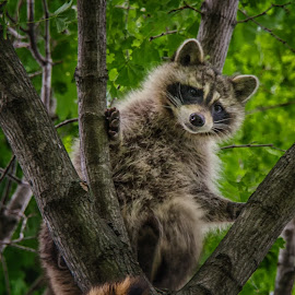 Up a Tree by Ellen Kawadler - Animals Other Mammals ( tree, furry, brown, raccoon, animal )