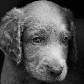 Dog 3 by BertJan Niezing - Animals - Dogs Puppies ( weimaraner, sweet, pup, dog, young )