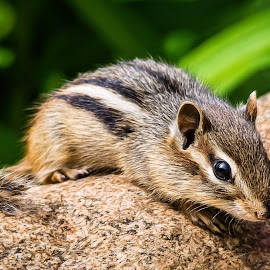 Chipmunk by Dave Lipchen - Animals Other Mammals ( chipmunk )