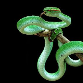 hide and seeks by Shikhei Goh II - Animals Reptiles