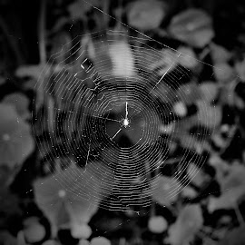 Spider Web by Sarah Harding - Novices Only Abstract ( cobweb, nature, novices only, design, spider web )