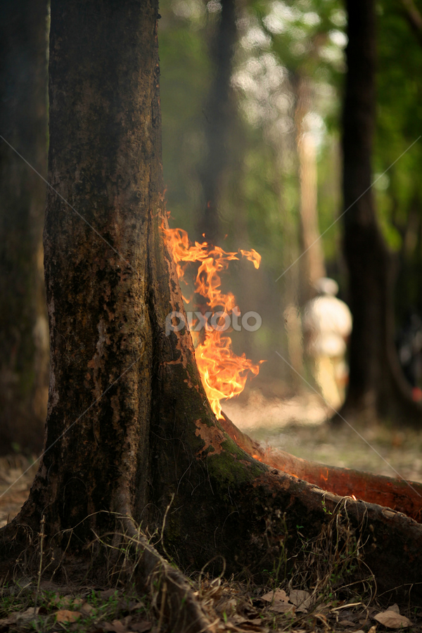 fire breathing by Hasin Hayder - Landscapes Forests ( tree, nature, street, forest, fire )