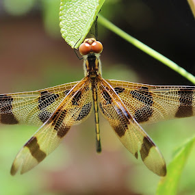 Dragonfly by Peg Elmore - Animals Insects & Spiders ( nature, 4 wings, striped, dragonfly, insect, garden )